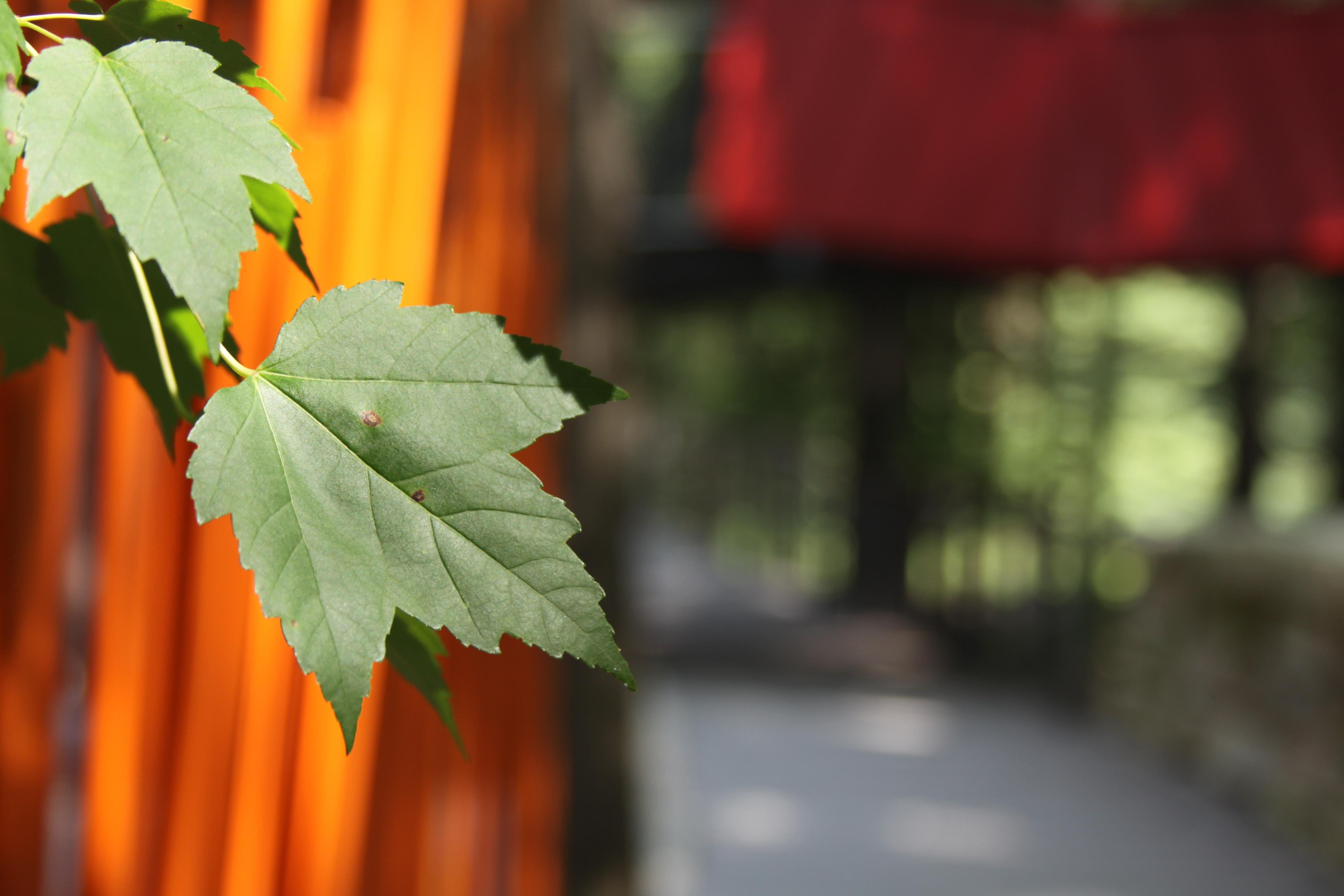 Green maple leaves at Whiting Forest Canopy Walk